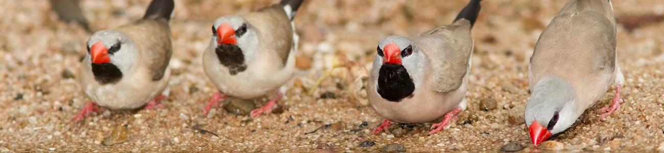 1300x300 Long-tailed Finches