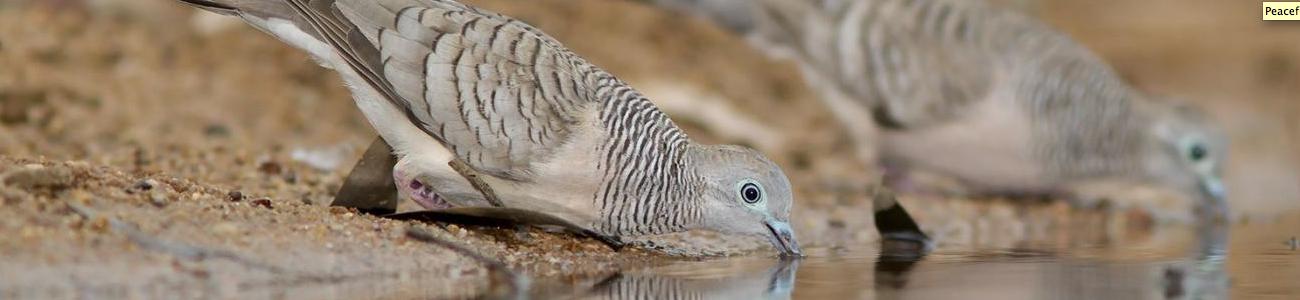 1300x300 peaceful dove